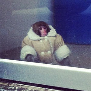 My vote for meme of 2012, The stylish Ikea Monkey, Darwin