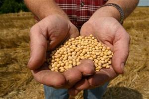 Obligatory file photo showing a farmer holding Monsanto's Roundup Ready Soybean seeds (AP Photo/Dan Gill, File)