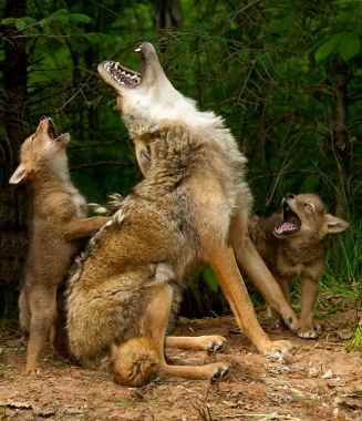 Wolves learning to howl. Photo by Debbie DiCarlo